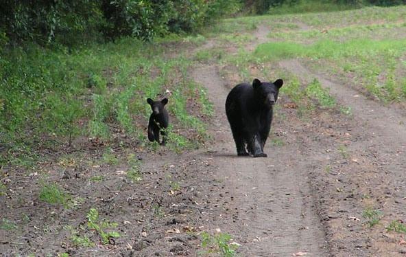 Balck Bear cub