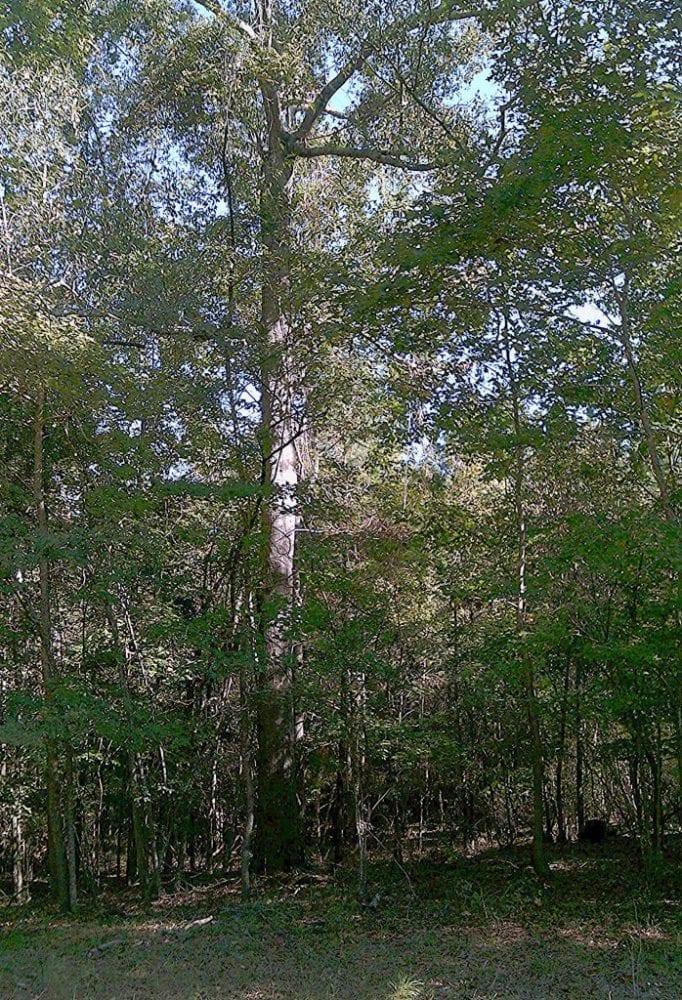 Big Oak by Gas Line 698x1024 1